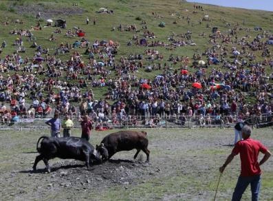 Combat de reines durant la fête des bergers.