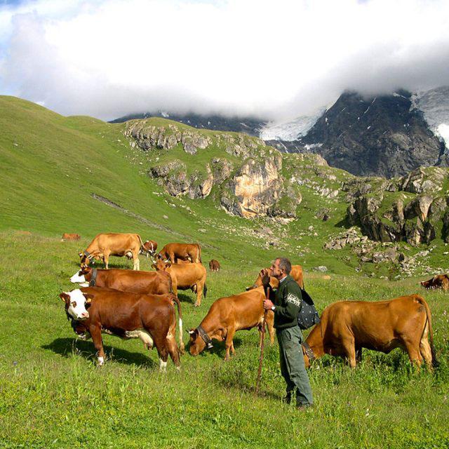 Vaches marines dans les prairies du Col du Petit Saint-Bernard.